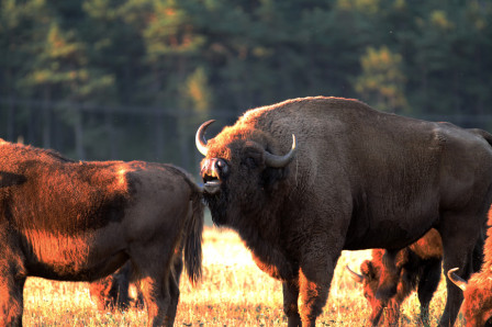 Thorenc_23082011_Bison_Europe_01.jpg