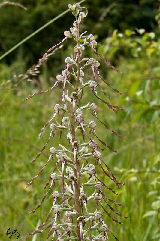 orchidee bouc