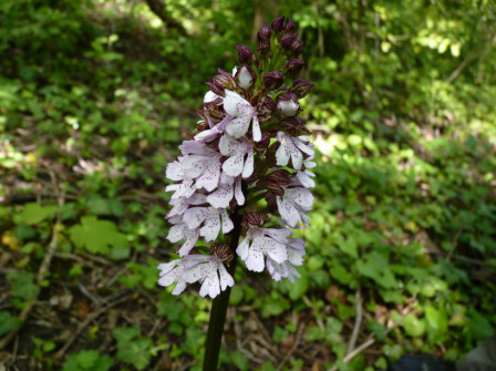 orchis_pourpre_02052010_1.jpg