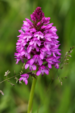 Montguichet_25052014_Orchis_Pyramidale_01.jpg