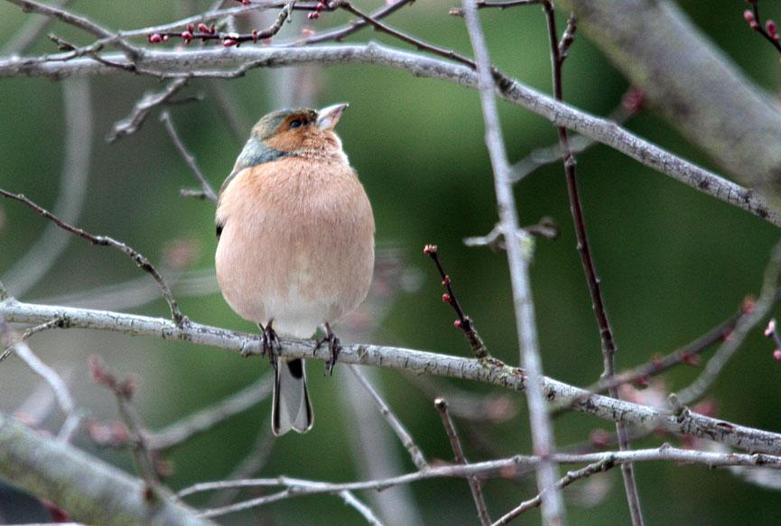 Le blog michelcubieres - Eloigner les oiseaux des arbres fruitiers ...