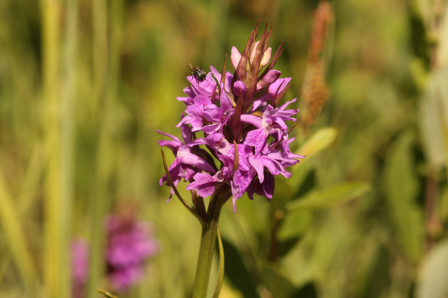 Letellier_23052011_Orchis_Neglige.jpg