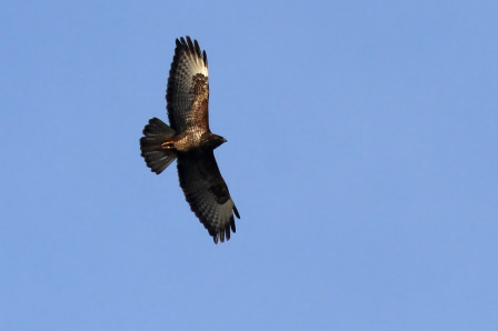 Gagny - Montguichet : Buse Variable (Buteo Buteo)